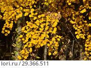 Купить «Ветки с ярко-желтыми листьями осины обыкновенной», эксклюзивное фото № 29366511, снято 17 октября 2018 г. (c) lana1501 / Фотобанк Лори
