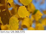 Купить «Яркая листва осины обыкновенной», эксклюзивное фото № 29366515, снято 17 октября 2018 г. (c) lana1501 / Фотобанк Лори