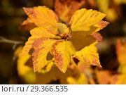 Купить «Яркая листва золотой окраски Пузыреплодника калинолистного», эксклюзивное фото № 29366535, снято 17 октября 2018 г. (c) lana1501 / Фотобанк Лори