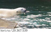 Купить «Polar bear playing in water», видеоролик № 29367539, снято 30 октября 2018 г. (c) Игорь Жоров / Фотобанк Лори