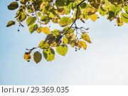 Купить «Осенние желтеющие листья с плодами на ветвях липы. Крупным планом на фоне чистого голубого неба», фото № 29369035, снято 15 октября 2018 г. (c) Кузин Алексей / Фотобанк Лори
