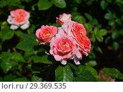 Купить «Густомахровые цветки необычной окраски розы кустарниковой Нотр Дам дю Розэр (лат. Notre Dame du Rosaire), Guillot», эксклюзивное фото № 29369535, снято 14 июня 2015 г. (c) lana1501 / Фотобанк Лори