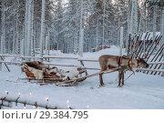 Купить «Reindeer at the Santa Claus village in Lapland», фото № 29384795, снято 9 января 2017 г. (c) Liseykina / Фотобанк Лори
