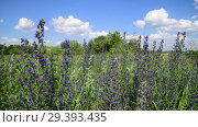 Купить «Blooming Salvia Superba on outskirts of the village», видеоролик № 29393435, снято 20 июня 2018 г. (c) Володина Ольга / Фотобанк Лори
