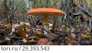 The red and white poisonous toadstool or mushroom called ly Agaric. Стоковое фото, фотограф Алексей Дмецов / Фотобанк Лори