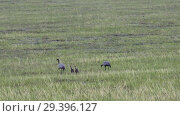 Купить «Family of cranes (crane belle). Parants and two chicks are walking on the steppe in Mongolia», видеоролик № 29396127, снято 9 июля 2018 г. (c) Serg Zastavkin / Фотобанк Лори