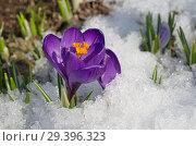 Купить «Фиолетовые крокусы (лат. Crocus) в снегу», фото № 29396323, снято 16 апреля 2018 г. (c) Елена Коромыслова / Фотобанк Лори