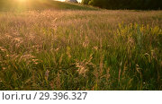 Купить «Beautiful meadow with wild oats at sunset in summer», видеоролик № 29396327, снято 27 июня 2018 г. (c) Володина Ольга / Фотобанк Лори
