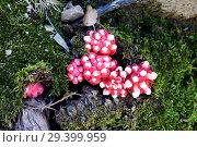 Купить «Chupamieles (Cytinus hipocistis) is a parasitic plant native to Mediterranean Basin and Canary Islands. This photo was taken in Cabo Creus Natural Park, Girona province, Catalonia, Spain.», фото № 29399959, снято 18 мая 2013 г. (c) age Fotostock / Фотобанк Лори