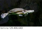 Купить «Дальневосточная черепаха, или китайский трионикс», фото № 29406643, снято 8 ноября 2018 г. (c) Галина Савина / Фотобанк Лори
