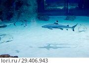 Купить «Черноперая рифовая акула. Blacktip reef shark .», фото № 29406943, снято 8 ноября 2018 г. (c) Галина Савина / Фотобанк Лори