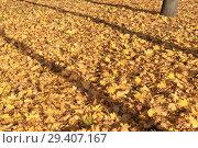 Купить «Опавшая листва на газоне», эксклюзивное фото № 29407167, снято 14 октября 2018 г. (c) Александр Щепин / Фотобанк Лори