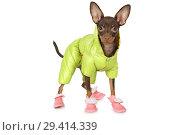 Купить «Puppy the toy terrier in a green jacket and boots», фото № 29414339, снято 31 октября 2018 г. (c) Алексей Кузнецов / Фотобанк Лори
