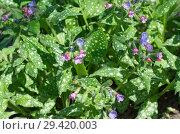 Купить «Медуница сахарная, или пятнистая (лат. Pulmonaria saccharata) цветет в саду весной», фото № 29420003, снято 14 мая 2018 г. (c) Елена Коромыслова / Фотобанк Лори