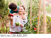 Купить «Woman gardener with boy picking harvest of peppers in sunny hothouse», фото № 29420291, снято 13 августа 2018 г. (c) Яков Филимонов / Фотобанк Лори