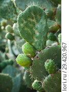Купить «Opuntia, edible plant called prickly pear», фото № 29420967, снято 20 августа 2018 г. (c) EugeneSergeev / Фотобанк Лори