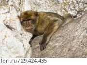 Купить «Adult male macaque monkey sitting on rocks of Signals Hill, part of the Rock of Gibraltar, British Overseas Territory, Gibraltar.», фото № 29424435, снято 8 октября 2018 г. (c) age Fotostock / Фотобанк Лори