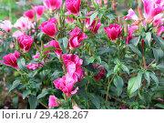 Купить «Годеция цветет в саду. Красивый однолетний цветок», фото № 29428267, снято 26 августа 2018 г. (c) Наталья Осипова / Фотобанк Лори