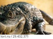 Live crocodile in the terrarium - the eye is in focus, the rest is blurry. Стоковое фото, фотограф Евгений Харитонов / Фотобанк Лори
