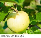 Купить «Одно спелое большое яблоко на ветке яблони крупным планом в солнечный летний день», фото № 29435259, снято 20 августа 2018 г. (c) E. O. / Фотобанк Лори