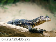 Monitor lizard resting on a log on a blurred light background. Стоковое фото, фотограф Евгений Харитонов / Фотобанк Лори