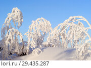 Купить «Woody branches covered with fluffy snow crystals, sticking out of the snow on a clear frosty day against the blue sky», фото № 29435287, снято 11 декабря 2017 г. (c) Евгений Харитонов / Фотобанк Лори