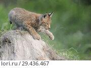 Купить «Young Eurasian Lynx ( Lynx lynx ) plays on a sandhill, showing its paw..», фото № 29436467, снято 2 августа 2011 г. (c) age Fotostock / Фотобанк Лори
