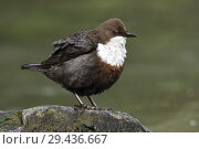 Купить «White throated Dipper ( Cinclus cinclus ) perched on a rock in a fast flowing river, fluffed up, typical view, wildlife, Europe.», фото № 29436667, снято 27 апреля 2018 г. (c) age Fotostock / Фотобанк Лори