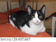 Кошкин дом: черно-белый котенок сидит на красном пуфе. Стоковое фото, фотограф Светлана Федорова / Фотобанк Лори