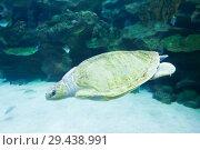 Купить «Sea turtle swims in blue sea», фото № 29438991, снято 10 января 2016 г. (c) Иван Михайлов / Фотобанк Лори