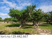 Купить «Argan trees in Morocco», фото № 29442667, снято 25 февраля 2018 г. (c) Михаил Коханчиков / Фотобанк Лори