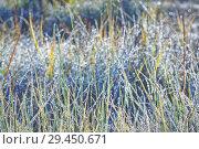 Купить «Осенняя трава покрытая утренней изморозью в качестве фона», фото № 29450671, снято 27 сентября 2018 г. (c) Круглов Олег / Фотобанк Лори