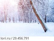 Купить «Winter Christmas landscape - frosty trees in winter forest in the sunny morning. Winter landscape with snowy trees. Tranquil winter forest nature with Christmas mood in soft morning sunlight», фото № 29456791, снято 11 декабря 2017 г. (c) Зезелина Марина / Фотобанк Лори