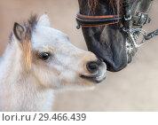 Купить «Миниатюрная лошадь знакомится с испанским жеребцом», фото № 29466439, снято 28 октября 2018 г. (c) Абрамова Ксения / Фотобанк Лори