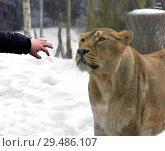 Купить «Общение со львицей через стекло. Зоопарк в Хельсинки», фото № 29486107, снято 24 марта 2018 г. (c) Валерия Попова / Фотобанк Лори
