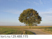 Купить «Deux chenes isoles sur le bord d'une route de campagne, departement d'Eure-et-Loir, region Centre-Val de Loire, France, Europe/two oak trees on the edge...», фото № 29488115, снято 20 октября 2018 г. (c) age Fotostock / Фотобанк Лори