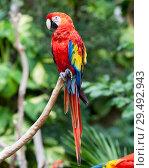 Купить «Bright red parrot», фото № 29492943, снято 3 февраля 2010 г. (c) Куликов Константин / Фотобанк Лори