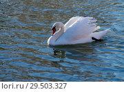 Купить «Белый лебедь на зимнем пруду», фото № 29503327, снято 29 ноября 2018 г. (c) Natalya Sidorova / Фотобанк Лори