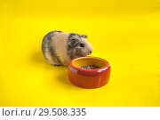 Smooth guinea pig eats from a red bowl on a yellow background. Стоковое фото, фотограф Катерина Белякина / Фотобанк Лори