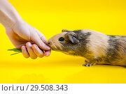 Female hand feeds green grass smooth-haired guinea pig beige-black colors on a yellow background. Стоковое фото, фотограф Катерина Белякина / Фотобанк Лори