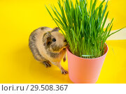 Smooth guinea pig beige and black colors eating green grass from a flowerpot on a yellow background. Стоковое фото, фотограф Катерина Белякина / Фотобанк Лори