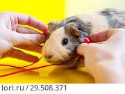 Купить «Women's hands hold red headphones near the ears of a smooth-haired guinea pig of beige and black colors on a yellow background», фото № 29508371, снято 1 декабря 2018 г. (c) Катерина Белякина / Фотобанк Лори