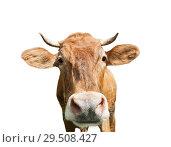 Купить «Смешная любопытная корова, изолировано на белом фоне», фото № 29508427, снято 20 мая 2019 г. (c) Екатерина Овсянникова / Фотобанк Лори