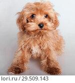 Купить «Shaggy puppy closeup», фото № 29509143, снято 14 января 2009 г. (c) Argument / Фотобанк Лори