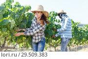 Купить «Woman controlling grapes ripening», фото № 29509383, снято 12 июля 2018 г. (c) Яков Филимонов / Фотобанк Лори