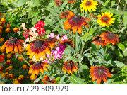 Купить «Рудбекия (лат. Rudbeckiа) цветет саду в летний день», фото № 29509979, снято 23 августа 2018 г. (c) Елена Коромыслова / Фотобанк Лори