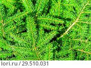 Купить «Яркий фон из еловых ветвей. Хвоя», фото № 29510031, снято 5 августа 2018 г. (c) Екатерина Овсянникова / Фотобанк Лори
