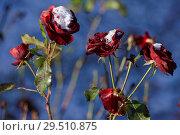 Купить «Roses under snow», фото № 29510875, снято 29 октября 2018 г. (c) Stockphoto / Фотобанк Лори