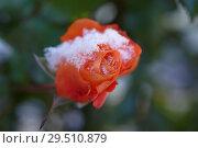 Купить «Rose under snow», фото № 29510879, снято 29 октября 2018 г. (c) Stockphoto / Фотобанк Лори