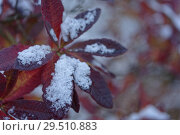 Купить «Rhododendron leaves under snow», фото № 29510883, снято 29 октября 2018 г. (c) Stockphoto / Фотобанк Лори